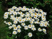picture of brighten  - A bunch of daisies to brighten up your day - JPG
