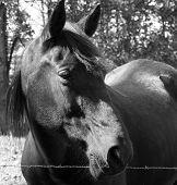 Bighorse