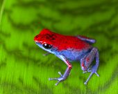 strawberry poison dart frog red and blue Oophaga pumilio from the Escudo Island Bocas del Toro in Pa
