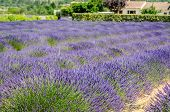 Lavender Row In Provence, France