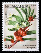 NICARAGUA - CIRCA 1988: A stamp printed in Nicaragua shows Anigozanthos manglesii, series, circa 1988