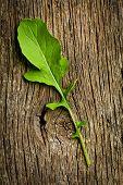 fresh arugula leaf on wooden table