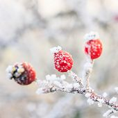 Winter Background, Red Berries On The Frozen Branches Covered With Hoarfrost