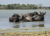 Group Of Buffaloes In  A Lake