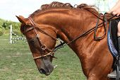 stock photo of bridle  - Chestnut horse portrait with bridle in the rural area - JPG