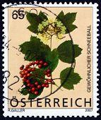 Postage Stamp Austria 2007 Guelder Rose, Flowering Plant