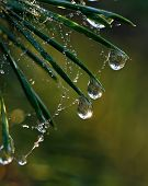 Pine needle with big dewdrops
