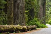 picture of redwood forest  - Redwood Forest and Road Northern California United States - JPG