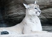 mountain lion, puma