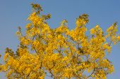 stock photo of vishu  - Beautiful Golden Shower Tree Under Blue Sky Chiang Mai Thailand - JPG
