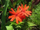 Red campion flower (Lychnis haageana)