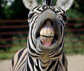 Funny Zebra smile