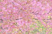Wild Himalayan Cherry Flower