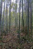 Bamboo Forest At Kyoto Japan