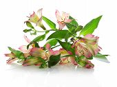 Fresh flowers of an alstroemeria