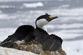 Antarctic Blue-eyed Cormorant Sitting On A Nest On A Background Of Ice In The Southern Ocean