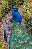 Peacock Walking a Path