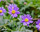 Purple Aster  Flower
