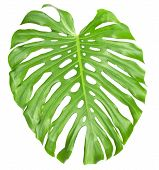 The big green sheet Monstera