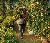 Vietnamese People at Citrus Tree At Market