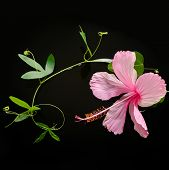 Spa Concept  Of  Blooming Pink Hibiscus, Green Tendril Passionflower On Water, Closeup