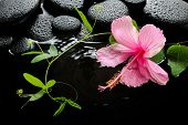 Spa Concept  Of  Blooming Pink Hibiscus, Green Tendril Passionflower And Zen Stones With Drops, On R