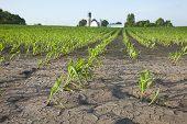 Corn Field With Water Damage