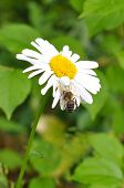 On A Camomile The White Spider Sits And Eats A Bee.