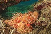 Scorpionfish in Mediterranean Sea