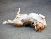 Mongrel Dog Lying On The Asphalt