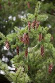 Branch Of Douglas-fir Tree With Pinecones