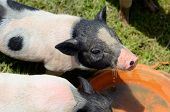 pic of pot-bellied  - Thai style Vietnamese Pot Belly piglet nursery house in Thai pig farm - JPG