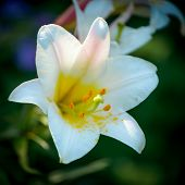 stock photo of easter lily  - Closeup of Lilium longiflorum  - JPG
