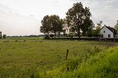 Picturesque Dutch Landscape With Sheep