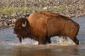 picture of lamar  - An American Bison bull bawling while crossing the Lamar River in Yellowstone National Park - JPG