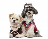 stock photo of dog breed shih-tzu  - Shih Tzu  - JPG