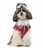 Shih Tzu (1 year old)