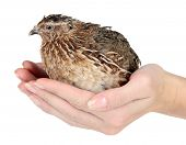 Young quail in hands isolated on white
