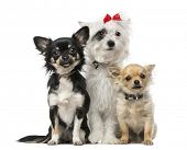 foto of chihuahua mix  - group of Crossbreed dog and chihuahuas - JPG