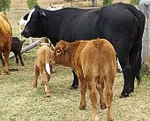 picture of calves  - Black cow with brown calf and calves on farm - JPG