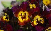 Yellow Purple Pansy Flower