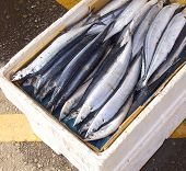 The pacific saury