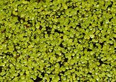 Duckweed Plant With Water Drops On Black Water