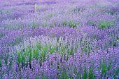 Lavender Flowers Field.