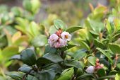 Lingonberry Flowers