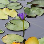 Purple Flower Water Lily