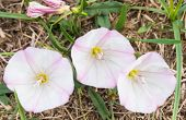 Three Flowers Of Bindweed In The Garden