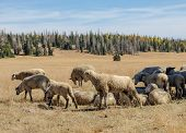 Sheep Herd In Dixie National Forest