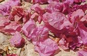 Dry flowers of bougainvillea