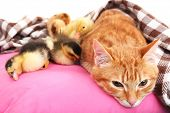 Red cat with cute ducklings on pink pillow close up